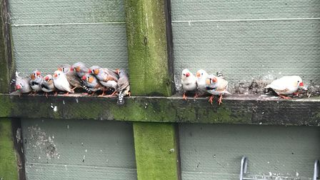 Zebra finches looking for new homes