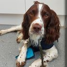 """Billy the British springer spaniel, whose genitals swelled to the """"size of a grapefruit"""" after he was bitten by an adder."""