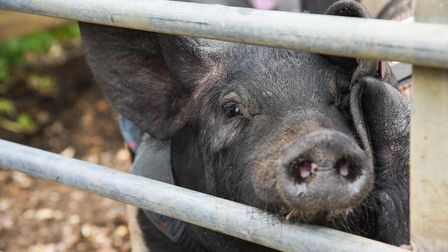 One of the pigs used for pig racing at Church Farm on Fincham Road in Stow Bardolph. Picture: Daniel