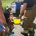 Four ducklings were rescued from a storm drain in Long Melford today