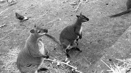 Cromer Zoo wallabies, 20th May 1978. Picture: Archant Library