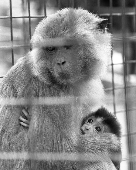 A monkey with her baby at Cromer Zoo in 1979