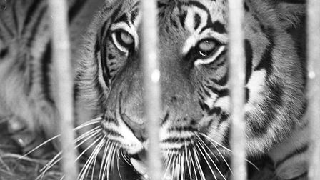 A tiger at the old Cromer Zoo on Howard's Hill in 1979.