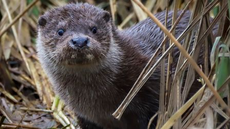 River otters, like this one pictured here, have recently been spotted at Stowmarket's Museum of East Anglian Life