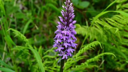 Some common spotted orchids at the Foxley Park site will be moved but others will be left where they are.