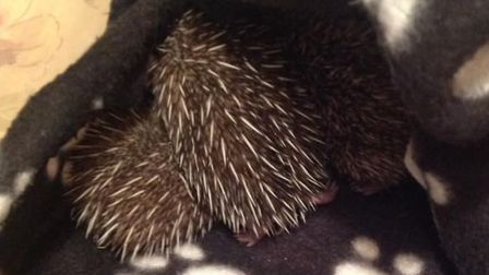 Marian Grimes at Hedgehog Haven in North Walsham has taken inher first babies of the year.