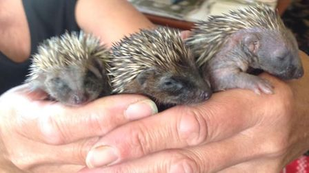 Marian Grimes at Hedgehog Haven in North Walsham has taken in her first babies of the year.