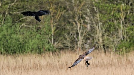 The marsh harrier flying low with the rabbit