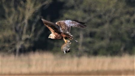 The first photo in the sequence showing a marsh harrier flying off with a rabbit, taken in the Suffolk countryside