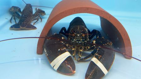 The first two lobsters at the new Wells Harbour Hatchery, in the tank which will house berried hens