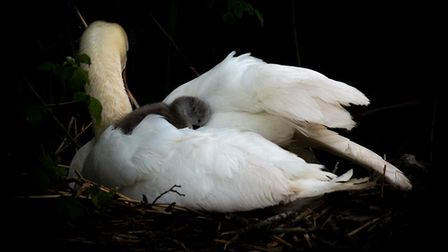Ely Swan and a Cygnet sat on its back.