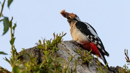 A Great Spotted Woodpecker delivering a feast to its young by the river in Ely.