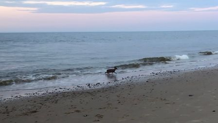 A deer was spotted in the sea at Cart Gap beach.