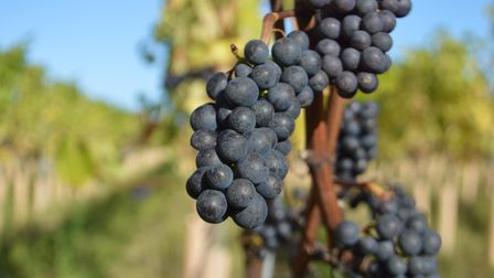 The first commercial crop of pinot noir grapes grown at Flint Vineyard in Earsham, near Bungay