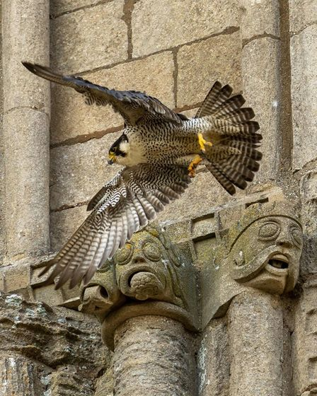 Ely Cathedral resident Peregrine Falcon having enjoyed a short well earned break gets back to work.