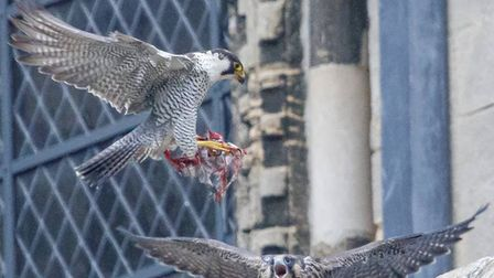 Ely Peregrine Falcons have finally fledged.