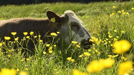 The cows are in the meadow eating buttercups… Anyone else know that nursery rhyme?