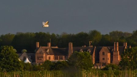 A barn owl over the Old Hall in Stuntney last night.