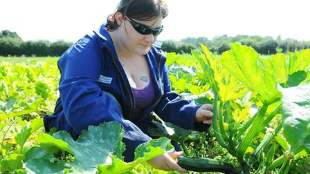 Rachel Fleming picking courgettes at Clinks Care Farm. Picture: James Bass
