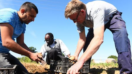 Clinks Care farmer Doeke Dobma (pictured left) picking potatoes from a field with some of the refuge