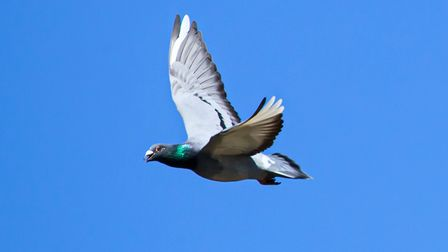 A racing pigeon arrives at a coop complex in Wombwell, South Yorkshire, as pigeon racing beats snook