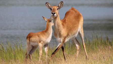 The lechwe is an antelope found in the wetlands of south-central Africa. They are pictured here by theWatatunga lakes.