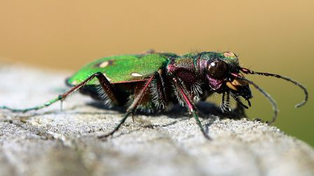 The green tiger beetle, which can be seen at a number of NWT reserves