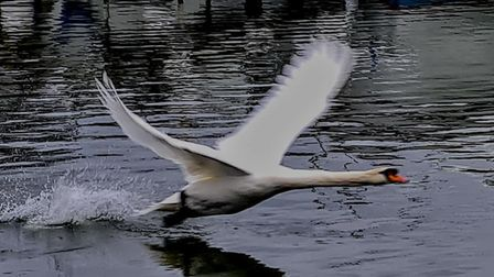 Ely photographer Nicky Still's image of a swan on the river near The Maltings
