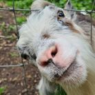 Ely photographer Nicky Still's shot of a goat peeping through the fence.