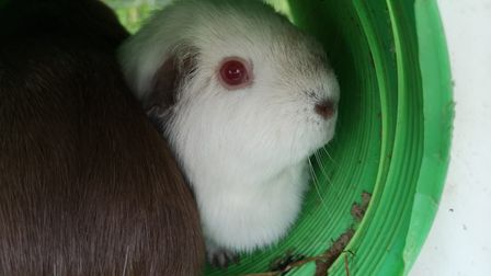 Marigold, Daisy and Buttercup are threefemale guinea pigs who are looking for a home together.