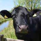 A curious cow at Marston Marsh, an idyllic spot just south of Norwich city. Picture: DENISE BRADLEY