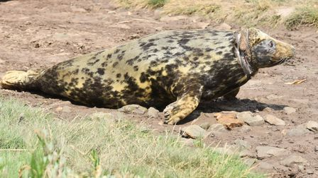 Mrs Vicar the seal is released back into the sea after three months of specialist medical care follo