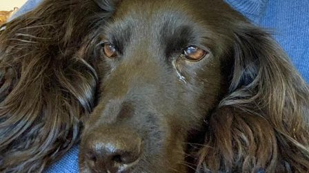 Bramble, the 11-year-old cocker spaniel, who has been stolen from Colchester Hospital.