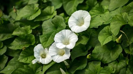 Close up of Hedge Bindweed with white trumpet-like flowers and green heart-shaped leaves