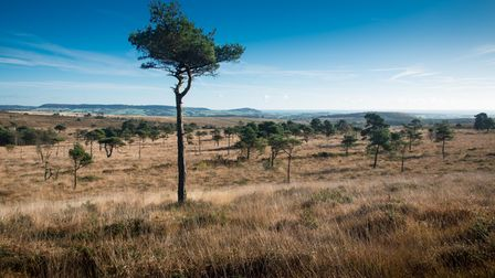 © Jake Newman/Rekord Media - A view of the East Devon Pebblebed Heaths. This picture can only be use