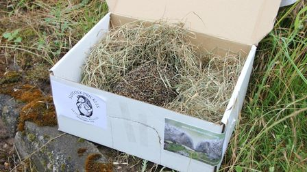 Harry the hedgehog being returned to his habitat at a power substation in Honington
