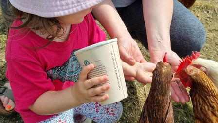 Little girl wearing a hat feeding chickens from a cup