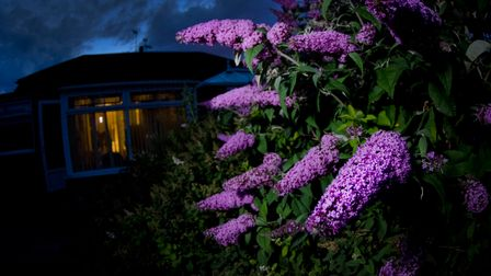 A buddleia at night - a magnet for nature in the evening