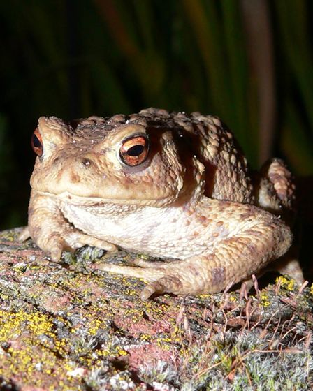 A common toad sitting on a garden wall in Thurgarton