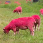Latitude's pink flock of sheep grazing next to the water. Picture: Sarah Lucy Brown