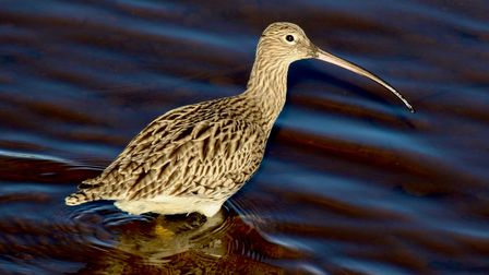 A new partnership has been launched to help save the curlew, one of England's most threatened birds