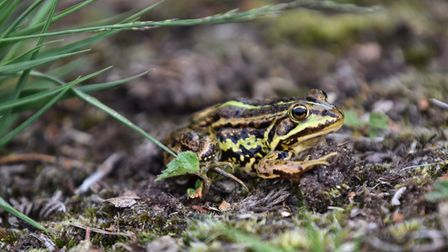 Rare northern pool frogs and tadpoles have been released at Thompson Common, near Watton
