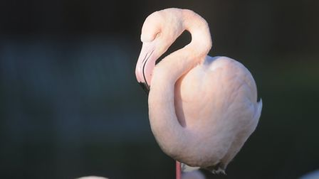 Pretty flamingo: One of the attractions at Pensthorpe Nature Reserve. Picture: Ian Burt