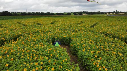 A drone shot of one of the sunflower mazes at the farm near Eye, with a frog in the middle