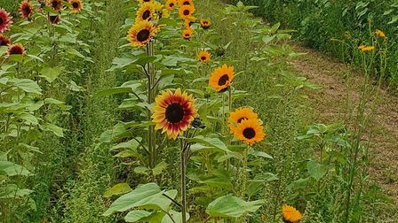 Some of the sunflowers at the farm near Eye
