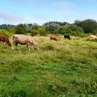 Cows grazing in beautiful Cary's Meadow on the outskirts of Norwich