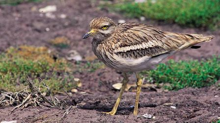 The stone curlew is one of the many wildlife species associated with the Brecks