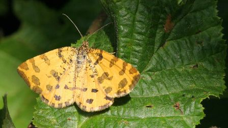 A speckled yellow moth