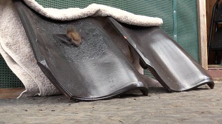 A bat climbing tests the coated tiles which are being added to the roof of Oxburgh Hall, in Norfolk