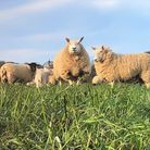 Sheep grazing on clover mixes at the Holkham Estate